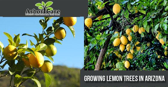 Growing Lemon Trees In Arizona