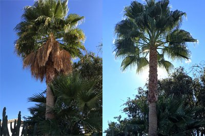 Palm Tree Trimming Before & After Photo