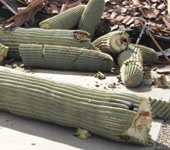 Cactus Removal Glendale