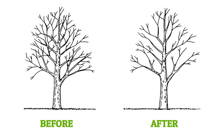 Tree T Pruning Tempe Az Arbor Care Professional