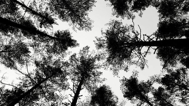 Pine Tree Removal Costs 2021